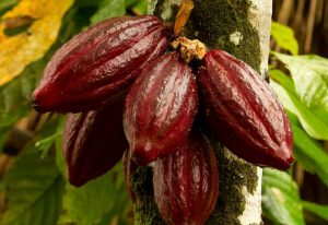 Subo cocoa supplier